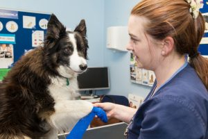 Dog Smiling at Veterinary Nurse While Having Paw Bandaged